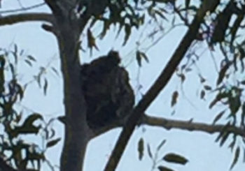 Koala spotted in South Turramurra